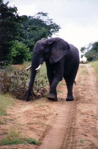 Elephant on road